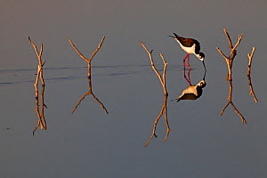 Black-necked stilt (Himantopus mexicanus) reflected in water, Xochimilco wetlands, Mexico City, March  -  Claudio  Contreras