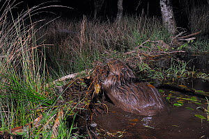 Eurasian beaver (Castor fiber) using its front legs to lift and add mud and vegetation onto its dam, in woodland enclosure at night, Devon Beaver Project, run by Devon Wildlife Trust, Devon, UK, May....  -  Nick Upton