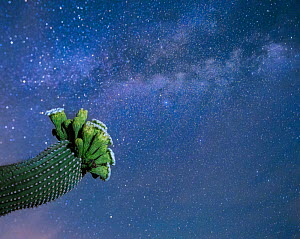 Saguaro cactus (Carnegiea gigantea) in flower at night, with The Milky Way behind, Sonoran Desert National Monument, Sierra Estrella Mountain Wilderness, Arizona, USA, May. - Jack Dykinga
