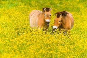 Przewalski's horse (Equus ferus przewalskii) grazing in buttercups, Parc de la Haute Touche, Obterre, France. May. Captive, occurs in Central Asia.  -  Roland  Seitre
