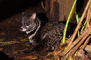Large Indian civet (Viverra zibetha) resting, captive at Singapore Zoo. Occurs in South East Asia.  -  Roland  Seitre