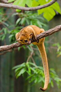 Kinkajou (Potos flavus) on branch. Captive in Ocean Park, Hong-Kong. Occurs in South and Central Asia. - Roland  Seitre