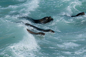 Southern sea lion (Otaria flavescens) group in surf, .Guanera Punta San Juan, Ica, Peru.  -  Roland  Seitre