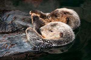 Sea otter (Enhydra lutris) two floating. Captive, occurs in Northern Pacific Ocean. Endangered species.  -  Roland  Seitre