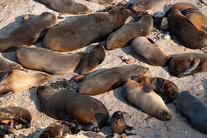Southern sealion (Otaria flavescens) group hauled out on shore, Guanera Punta San Juan, Ica, Peru.  -  Roland  Seitre