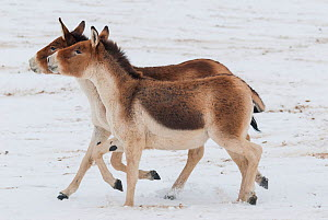 Tibetan wild ass (Equus kiang) two walking side by side in snow. Captive at Moscow Zoo breeding station. Occurs on the Tibetan plateau..  -  Roland  Seitre
