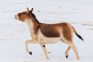 Tibetan wild ass (Equus kiang) in snow. Captive at Moscow Zoo breeding station. Occurs on the Tibetan plateau.. - Roland  Seitre