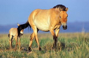 Przewalski horses (Equus ferus przewalskii) mother and foal, reintroduced in Takhin Tal by the International Takhi Group, Gobi Desert, Mongolia. - Roland  Seitre