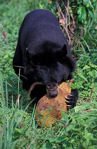 Asiatic black bear (Ursus thibetanus) feeding on fruit. Captive, occurs in South Asia.  -  Roland  Seitre