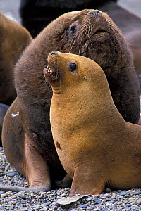 Southern sealion (Otaria flavescens) male and female on beach, Guanera Punta San Juan, Ica, Peru.  -  Roland  Seitre