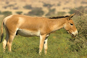 Persian onager (Equus hemionus onager) grazing, captive at the Hai Bar Project, Israel. Critically endangered species, endemic to Iran. - Roland  Seitre