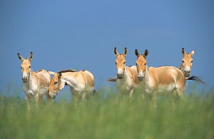 Persian Onager (Equus hemionus onager) captive at the The Wilds Breeding and Research Center, Ohio, USA. Critically endangered species, endemic to Iran. - Roland  Seitre