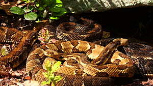 Group of gravid female Timber rattlesnakes (Crotalus horridus) basking before giving birth, Pennsylvania, USA, July. - John Cancalosi