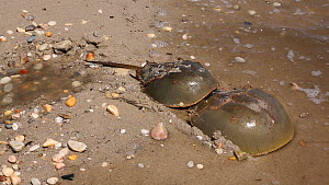 Pair of Horseshoe crabs (Limulus polyphemus) re-entering sea after breeding, Delaware Bay, Delaware, USA, May,  -  John Cancalosi