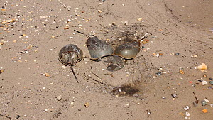 Horseshoe crabs (Limulus polyphemus) coming ashore to breed, Delaware Bay, Delaware, USA, May,  -  John Cancalosi