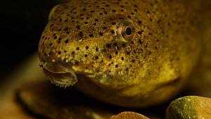 Close-up of an American bullfrog (Lithobates catesbeianus) tadpole, New York, USA, July. Captive. - John Cancalosi