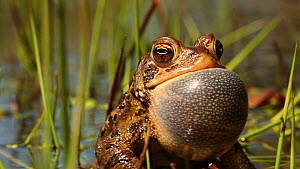 Male American toad (Bufo americanus) calling to attract female, Ithaca, New York, USA, May.  -  John Cancalosi