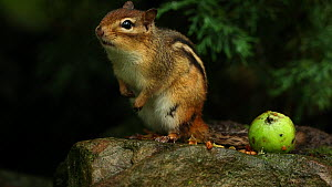Eastern american chipmunk (Tamias striatus) scratching, grooming and calling, avian predator alarm call, New York, USA, August.  -  John Cancalosi
