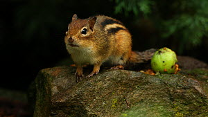Eastern american chipmunk (Tamias striatus) calling, avian predator alarm call, New York, USA, August.  -  John Cancalosi