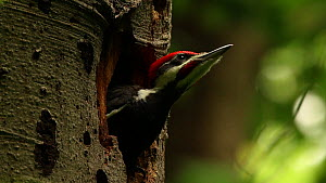 Juvenile Pileated woodpecker (Dryocopus pileatus) vocalising at nest, Washington DC, USA, June. - John Cancalosi