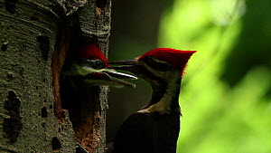 Pileated woodpecker (Dryocopus pileatus) feeding chicks at nest, Washington DC, USA, June.  -  John Cancalosi