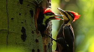Pileated woodpecker (Dryocopus pileatus) feeding chick at nest, Washington DC, USA, June. - John Cancalosi