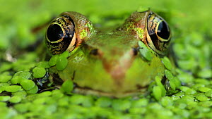 Green frog (Lithobates clamitans) in duckweed, New York, August. - John Cancalosi