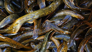 Close up of a container full of Sea lampreys (Petromyzon marinus), captured for culling, New York, USA, April. - John Cancalosi