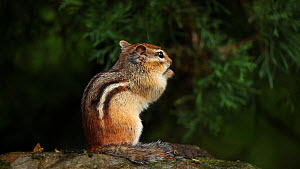 Eastern american chipmunk (Tamias striatus) feeding, New York, USA, August.  -  John Cancalosi