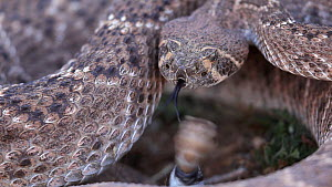 Western diamondback rattlesnake (Crotalus atrox), defensive rattling, Arizona, USA, April.  -  John Cancalosi