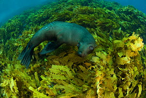 New Zealand fur seal (Arctocephalus forsteri) in kelp, Albany, Western Australia.  -  Jurgen Freund