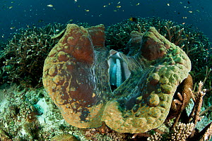 Giant clam (Tridacna gigas) Raja Ampat, West Papua, Indonesia.  -  Jurgen Freund
