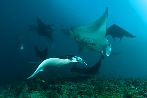 Giant manta rays (Manta birostris) at a cleaning station with cleaner wrasses. North Raja Ampat, West Papua, Indonesia - Jurgen Freund
