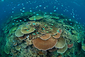 RF- Acropora table and staghorn corals with Bluegreen chromis (Chromis viridis) shoal. Great Barrier Reef, Queensland, Australia. (This image may be licensed either as rights managed or royalty free.)  -  Jurgen Freund