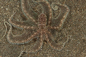 Longarm octopus (Octopus sp.) well camouflaged in the sand. Manado, North Sulawesi, Indonesia. - Jurgen Freund