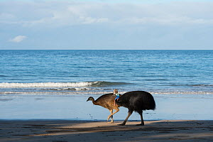 Southern cassowary (Casuarius casuarius) adult and young on beach, Etty Bay, Queensland, Australia. Not available for use in Germany, Austria and Switzerland.  -  Jurgen Freund