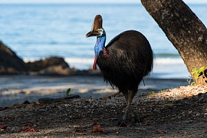 Southern cassowary (Casuarius casuarius) on beach, Etty Bay, Queensland, Australia. Not available for use in Germany, Austria and Switzerland.  -  Jurgen Freund