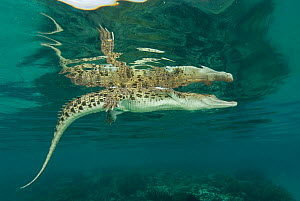 Saltwater crocodile (Crocodylus porosus) swimming at the surface. Norman River, Normanton, Queensland, Australia. - Jurgen Freund