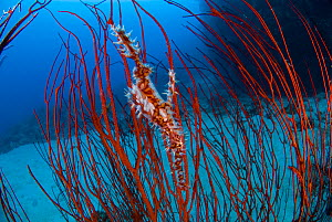 Harlequin ghost pipefish (Solenostomus paradoxus) amongst Red sea whips (Ellisella sp) Kimbe Bay, New Britain, Papua New Guinea.  -  Jurgen Freund