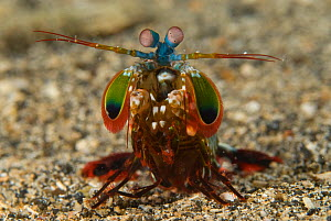 Peacock Mantis Shrimp (Odontodactylus scyllarus) Kimbe Bay, West New Britain, Papua New Guinea.  -  Jurgen Freund