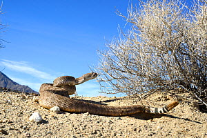 Western diamondback rattlesnake (Crotalus atrox)  coiled up with rattle up, Arizona, USA, Controlled conditions  -  Daniel  Heuclin