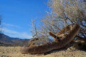 Western diamondback rattlesnake (Crotalus atrox) with tail wrapped in bush, Arizona, USA, October. Controlled conditions.  -  Daniel  Heuclin