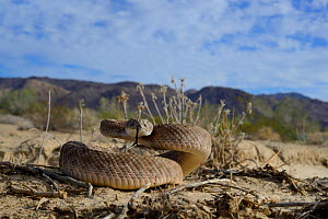 Western diamondback rattlesnake (Crotalus atrox) tasting air, in habitat, Arizona, USA, October. Controlled conditions  -  Daniel  Heuclin