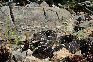 Arizona black rattlesnake (Crotalus cerberus) tasting air and rattling tail, Arizona, USA, September. Controlled conditions. - Daniel  Heuclin