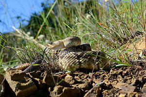 Black-tailed rattlesnake (Crotalus molossus) tasting the air, Arizona, USA, September. Controlled conditions - Daniel  Heuclin