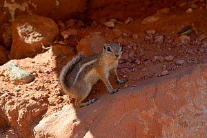 White-tailed antelope squirrel (Amnospermophilus leucurus) Valley of Fire, Nevada, USA, September. - Daniel  Heuclin