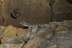 Chinese gecko (Gekko chinensis) with wasps nest behind, Guangxi province, China, July. - Dong Lei