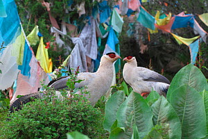 White eared-pheasant (Crossoptilon crossoptilon) two in front of Buddhist prayer flags, Sichuan Province, China, July.  -  Dong Lei