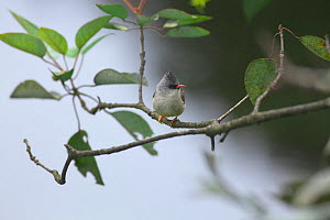 Black-chinned yuhina (Yuhina nigrimenta) perched, DaMingShan moutain, Guangxi province, China, July.  -  Dong Lei