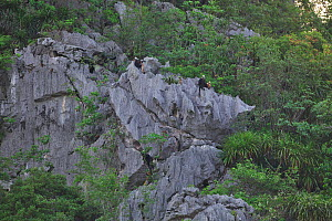 White-headed black langurs ( Trachypithecus poliocephalus leucocephalus) group on cliffs, Guangxi province, China, July. Critically endangered species. - Dong Lei